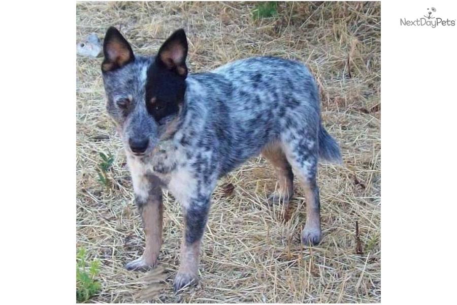 ... Australian Cattle Dog/Blue Heeler puppy for sale for $300. Miniature