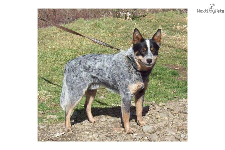 miniature queensland heeler maledog australian cattle dog blue heeler ...
