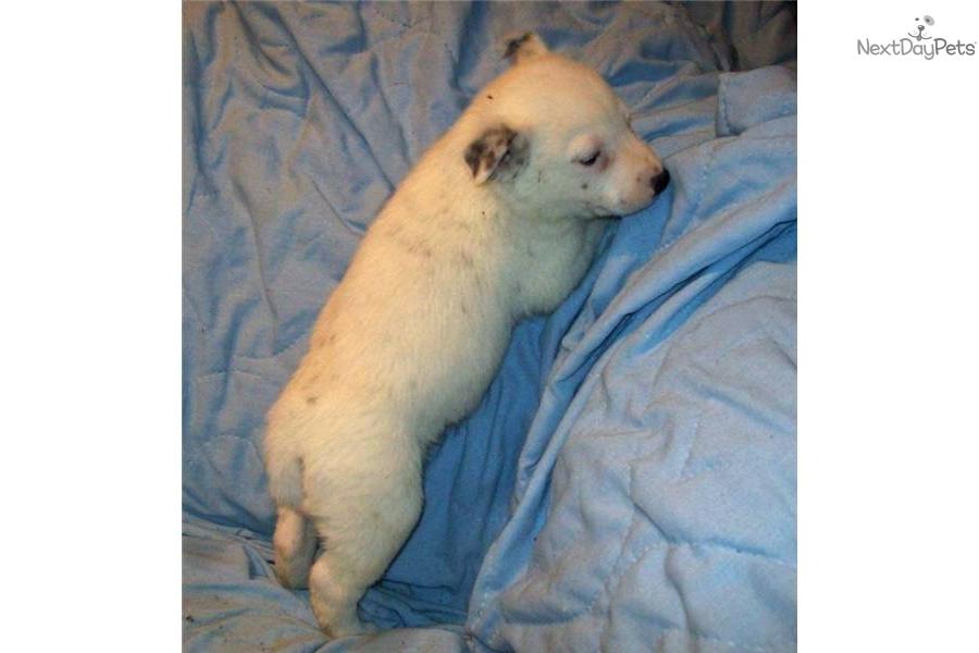 -queensland--blue-heelerdog-australian-cattle-dog-blue-heeler-puppy