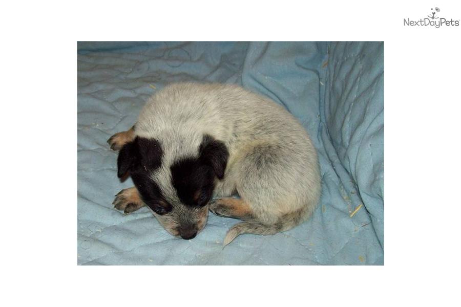Queensland+Heeler+Breeders+In+California Blue Heeler Puppies In ...