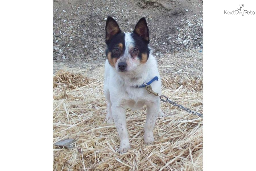 Miniature Texas Heeler | Dog Breeds Picture