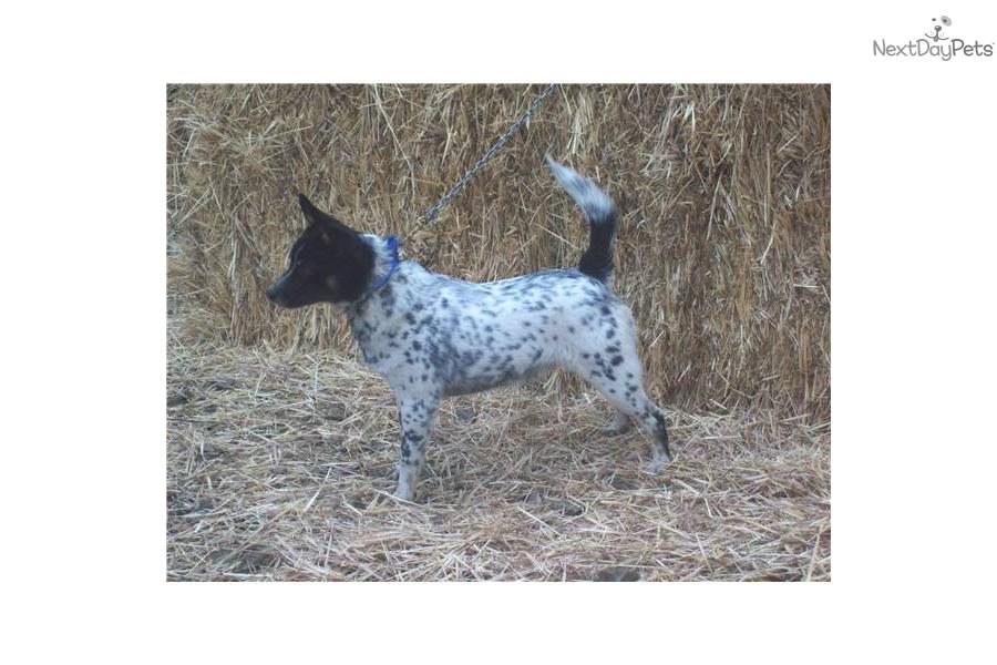 Queensland Heeler Male Sold Dog Australian Cattle Dog Blue Heeler ...