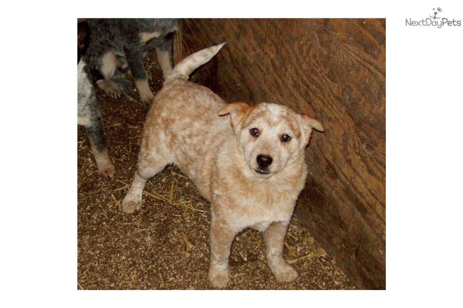 Meet Spears red male a cute Australian Cattle Dog/Blue Heeler puppy ...