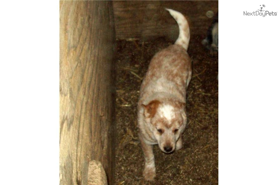 Miniature Queensland Heeler   Dog Breeds Picture