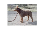 Picture of Australian Kelpie female (Brown & tan)