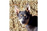 Picture of Australian Kelpie male (Fawn )