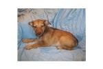 Picture of an Australian Kelpie Puppy