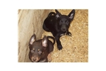 Picture of Australian Kelpie SOLD