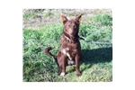 Picture of Oregon bred Australian Kelpies