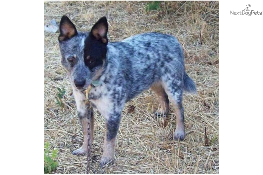 Size miniature blue heeler maledog australian cattle dog blue heeler