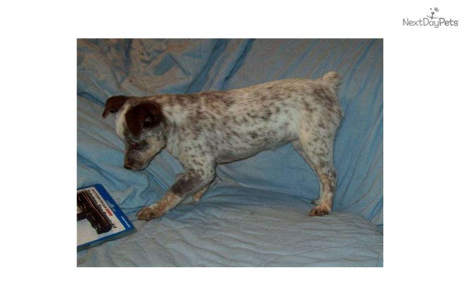 Queensland Heeler Dog Rescue California Dog Breeds Picture Dog | Dog ...
