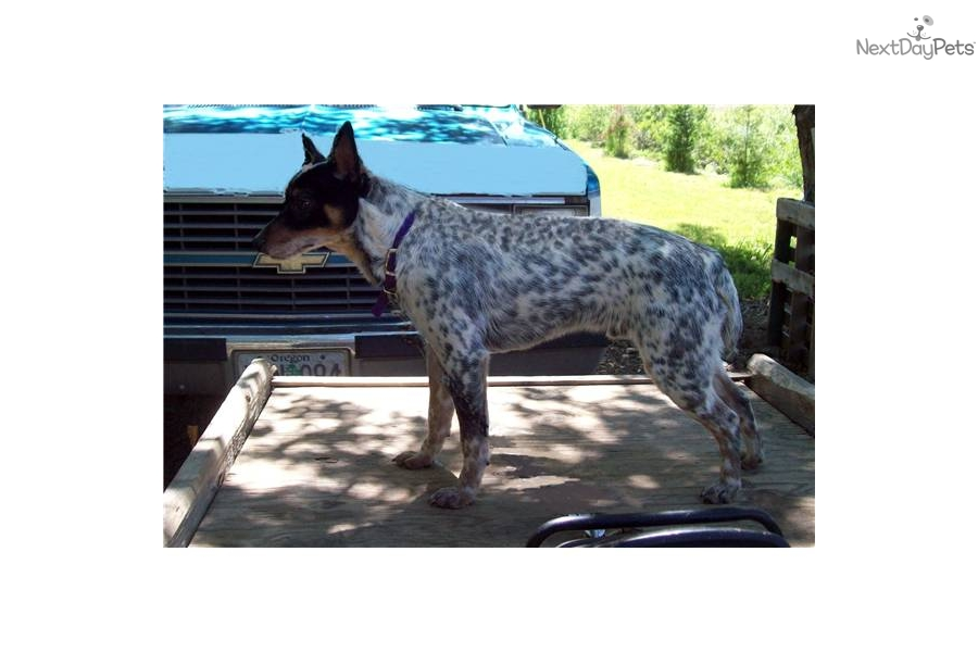 miniature queensland heeler female australian cattle dog blue heeler