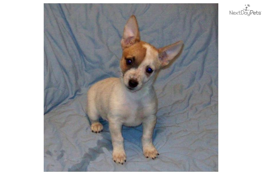 Toy Size Dogs : Australian cattle dog blue heeler puppy for sale near bend