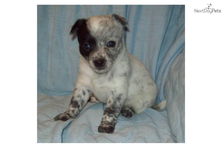 ... Queensland Heeler Femaledog Australian Cattle Dog Blue Heeler Puppy