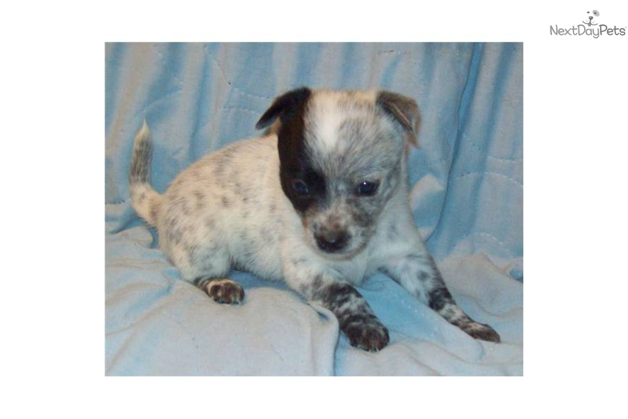 -queensland-blue-heeler-femaledog-australian-cattle-dog-blue-heeler