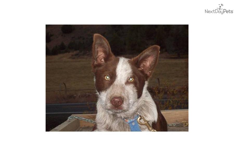 Meet Brick A Cute Australian Cattle Dog Blue Heeler Puppy