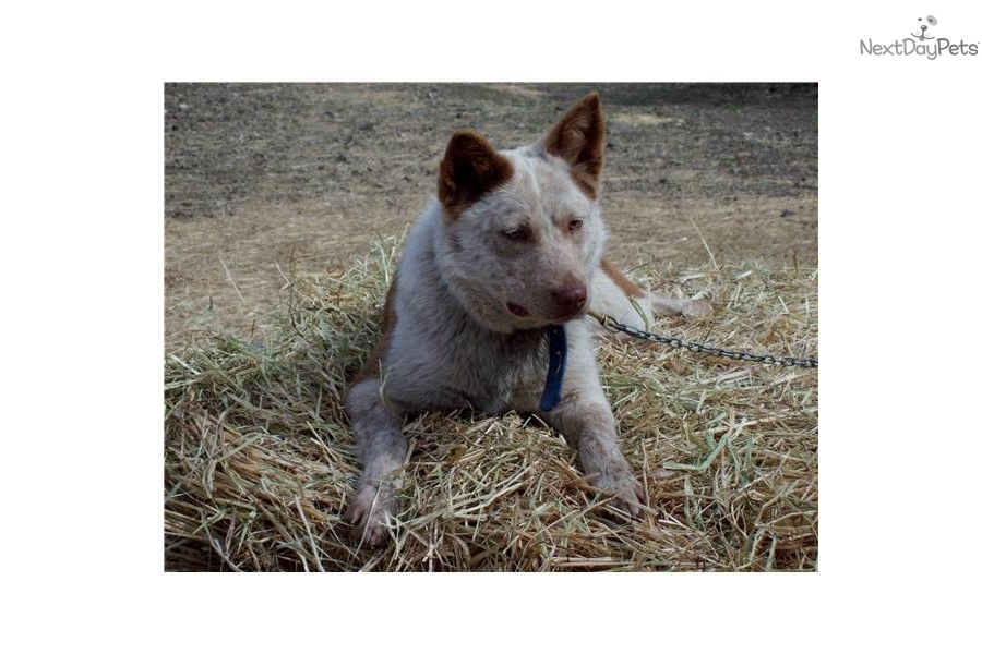 Dogs For Sale In Queensland