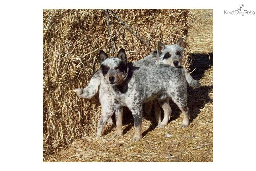 Halls Heeler Or Queensland Heeler T He Australian Cattle Dog Isn T ...
