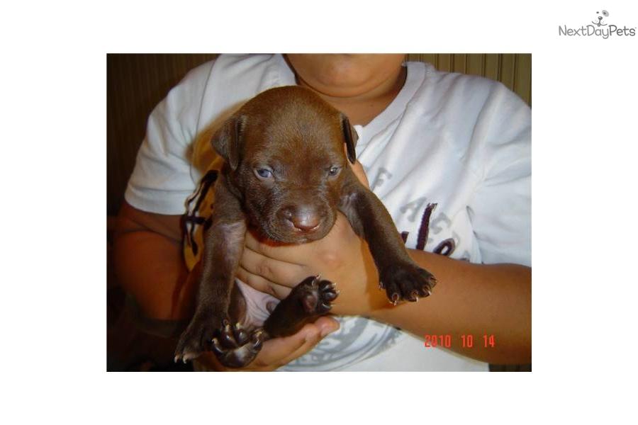 American Pit Bull Terrier for sale for $400, near Boston ...