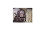 Picture of AKC American Water Spaniel