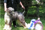 Picture of Afghan Hounds of Mahadi