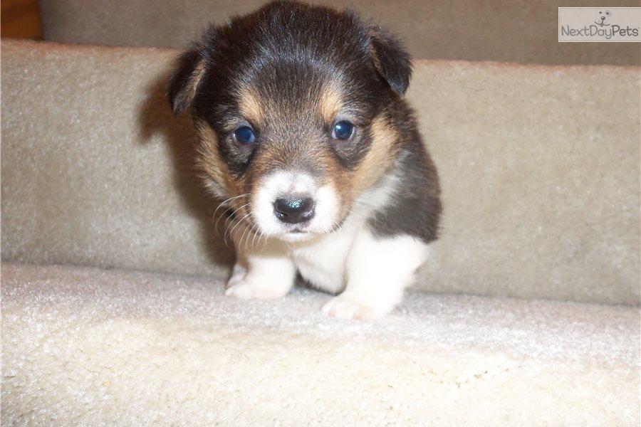 Meet Female a cute Welsh Corgi, Pembroke puppy for sale for $375 ...