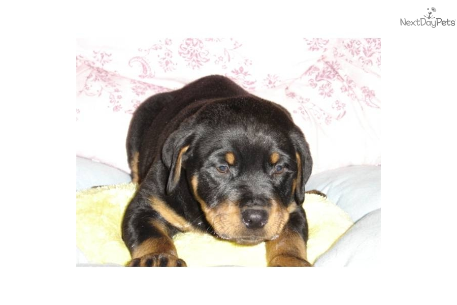 Rottweiler Puppies For Sale In Ny State