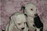 Picture of www.EmpirePuppies.net (American Bulldog)