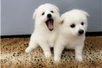 Picture of www.EmpirePuppies.net (American Eskimo)