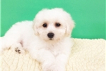 Picture of BICHON FRISE $950 (EMPIRE PUPPIES 718-321-1977)