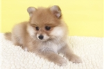 Pomeranians for sale