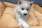 Picture of www.EmpirePuppies.net (Pomsky puppy)