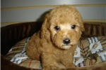 POODLE $780 (EMPIRE PUPPIES 718-321-1977) | Puppy at 4 weeks of age for sale