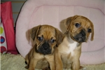 Picture of PUGGLE   www.EmpirePuppies.net