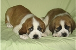 Picture of St. Bernard $1599 (Empire Puppies)