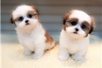 Picture of Shih Tzu, www.EmpirePuppies.net