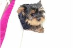 Picture of Yorkie $950 (Empire Puppies 718-321-1977)