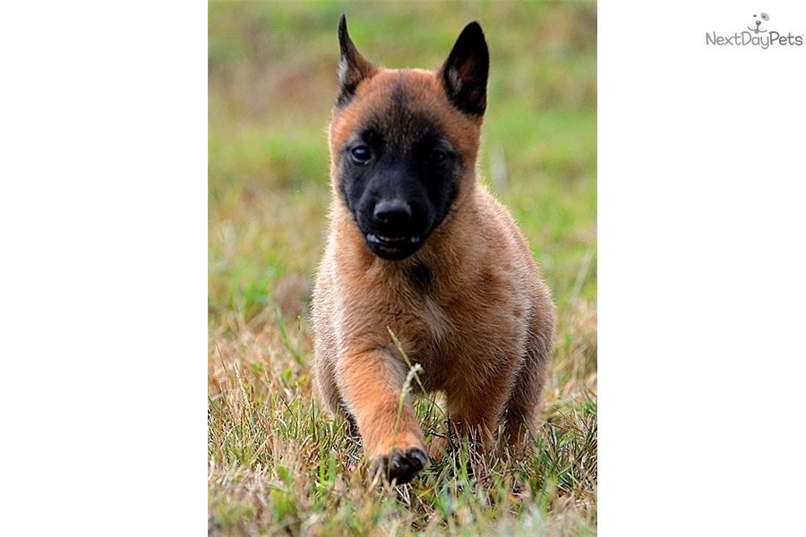 Belgian Malinois puppy for sale near San Antonio, Texas | 7d0908c7