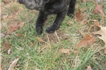 Picture of female shar pei puppy-special needs