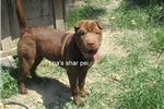 Picture of chocolate FEMALE shar PEI PUPPY