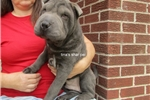 Picture of blue MALE shar PEI PUPPY-deposit pending