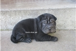 Chinese Shar-Pei for sale