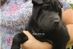 Picture of black male shar pei puppy