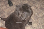 Picture of black female chow puppy