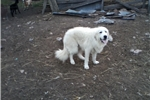 great pyrenees male | Puppy at 40 weeks of age for sale