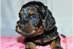 Picture of Black and Tan Phantom male