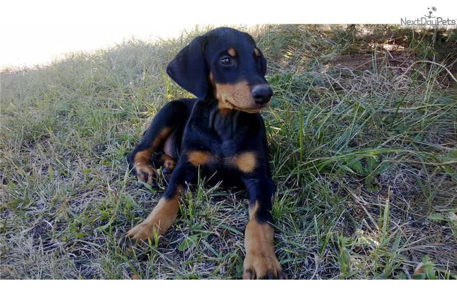 Doberman Puppies In Kansas City Missouri