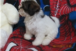 Picture of SHIH-POO FEMALE PUPPY FAMILY RAISED