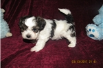 Picture of SHORKY-POO (SHIH-TZU/YORKY/POODLE) NON-SHED MALE
