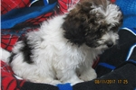 Picture of SHIH-POO MALE PUPPY READY TO GO
